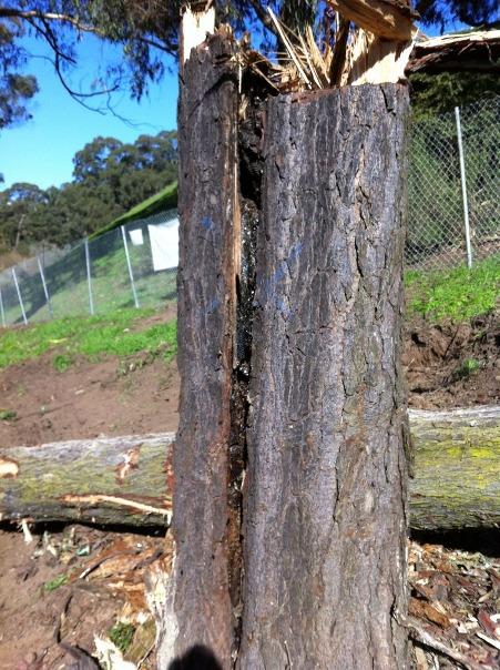 destroyed bee tree (Photo credit Scott Mattoon)