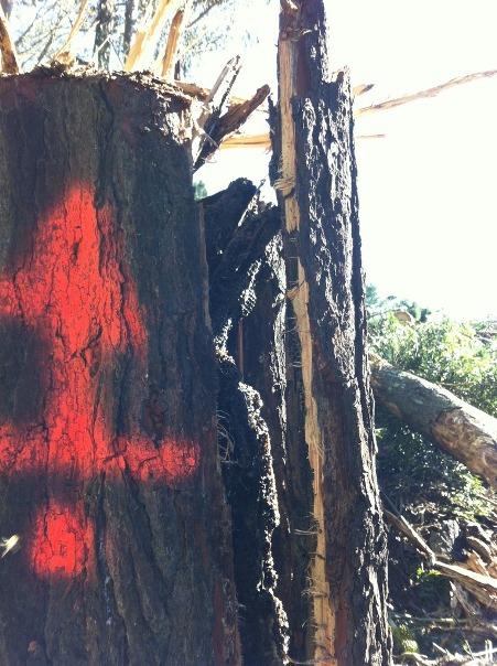 red arrow on bee tree (Photo - Scott Mattoon)