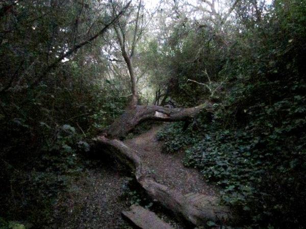 daphne tree